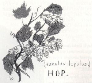 The hop plant (Humulus lupus)